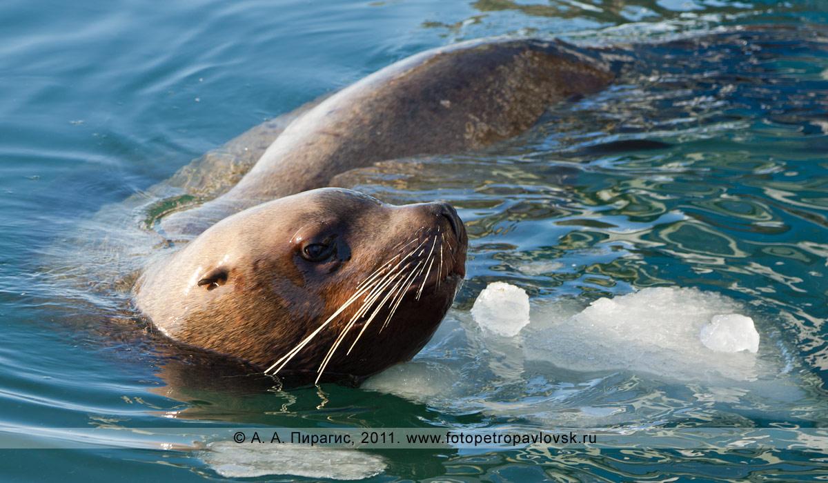 Фотография: сивуч, или морской лев Стеллера, — Eumetopias jubatus (Schreber, 1776) (отряд Ластоногие — Pinnipedia, семейство Ушастые тюлени — Otariidae)