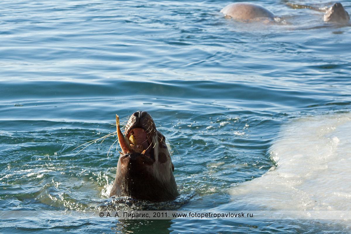 Фотография: сивуч, или морской лев Стеллера, принимает пищу (обедает). Авачинская губа, мыс Сигнальный, город Петропавловск-Камчатский