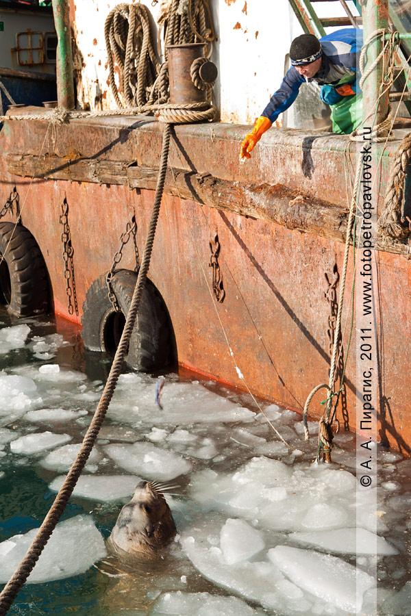Фотография: сивуч, или морской лев Стеллера, возле пирса на мысе Сигнальном. Петропавловск-Камчатский