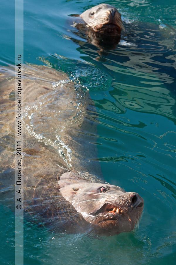 Фотография: сивучи, или морские львы Стеллера (отряд Ластоногие — Pinnipedia, семейство Ушастые тюлени — Otariidae)