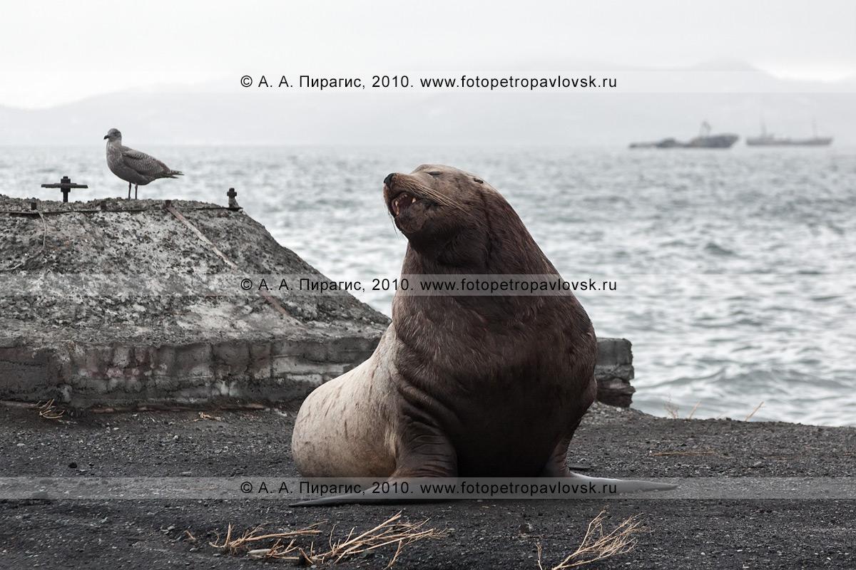 Фотография: морской лев Стеллера, или сивуч, — Eumetopias jubatus (Schreber, 1776) (отряд Ластоногие — Pinnipedia, семейство Ушастые тюлени — Otariidae). Бухта Моховая, Авачинская губа