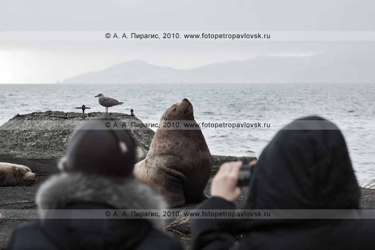 Фотография: жители города Петропавловска-Камчатского фотографируют сивучей на лежке. Петропавловск-Камчатский, берег Авачинской губы, бухта Моховая