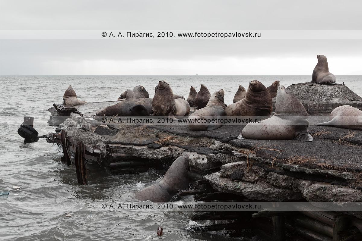 Фотография: сивучи, или морские львы Стеллера. Авачинская губа, бухта Моховая, город Петропавловск-Камчатский