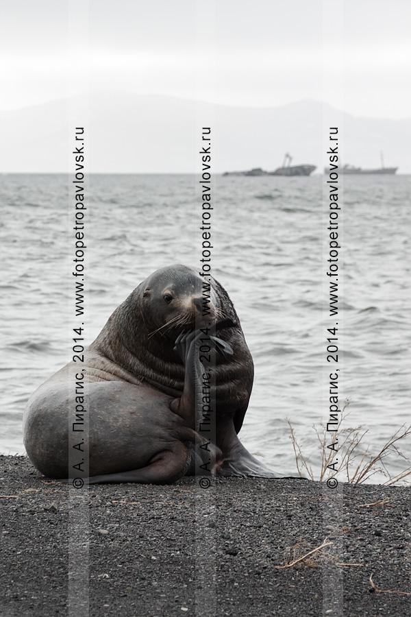 Фотография: сивуч, или морской лев Стеллера. Бухта Моховая, Авачинская губа