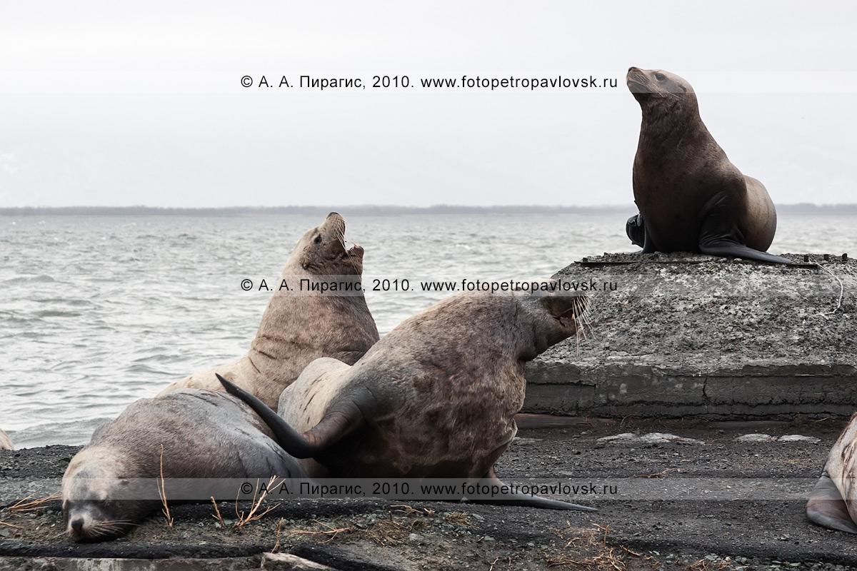 Фотография: сивучи, или морские львы Стеллера, на лежке в Петропавловске-Камчатском. Бухта Моховая, Авачинская губа