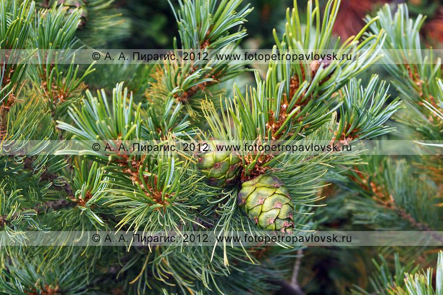 Фотография: шишки. Кедрач, или кедровый стланик, — Pinus pumila (Pall.) Regel (семейство Сосновые — Pinaceae). Полуостров Камчатка
