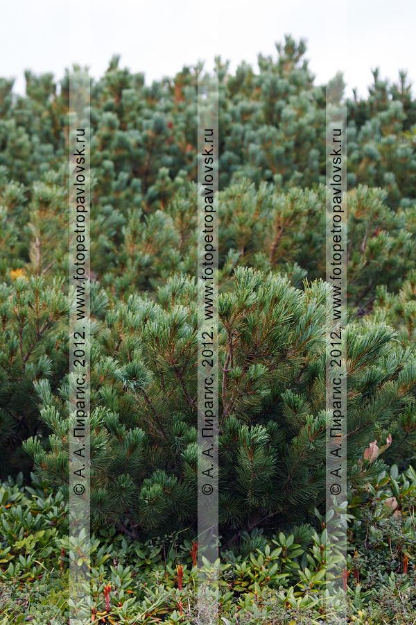 Фотография: заросли кедрового стланика на полуострове Камчатка. Кедровый стланик — Pinus pumila (Pall.) Regel (семейство Сосновые — Pinaceae)