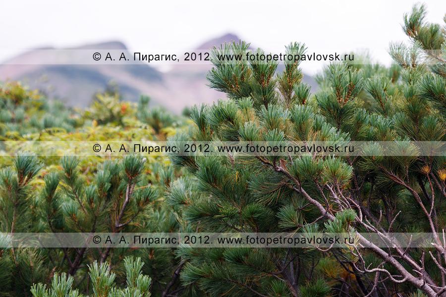 Фотография: кедровый стланик (кедрач) на полуострове Камчатка. Кедровый стланик — Pinus pumila (Pall.)
