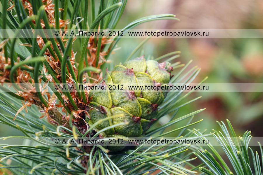 Фотография: шишка крупным планом. Кедровый стланик, или кедрач, — Pinus pumila (Pall.) Regel (семейство Сосновые — Pinaceae). Полуостров Камчатка