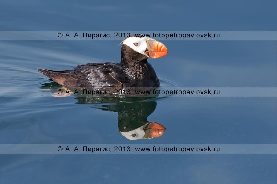 Фотография: топорок, или топорик (Lunda cirrhata), — морская колониальная птица семейства чистиковых. Камчатка, Авачинская губа (Авачинская бухта)