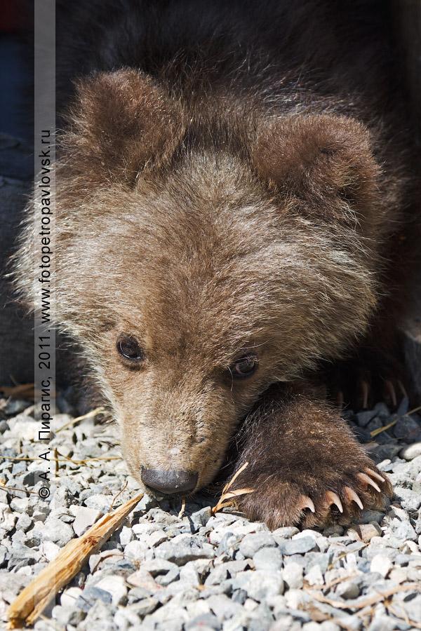 Фотография: камчатский бурый медведь. Елизовский зоопарк. Камчатский край, город Елизово