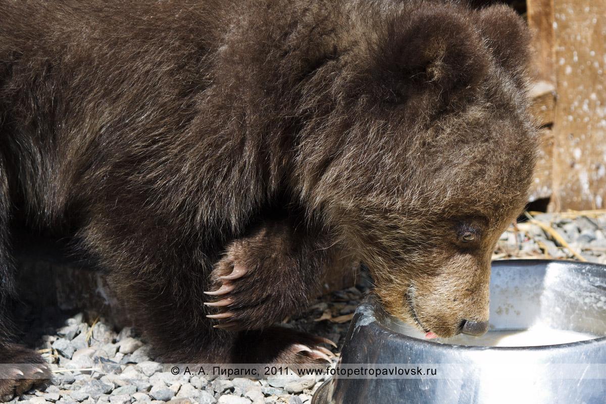 Фотография: камчатский бурый медведь принимает пищу. Елизовский зоопарк (полуостров Камчатка)