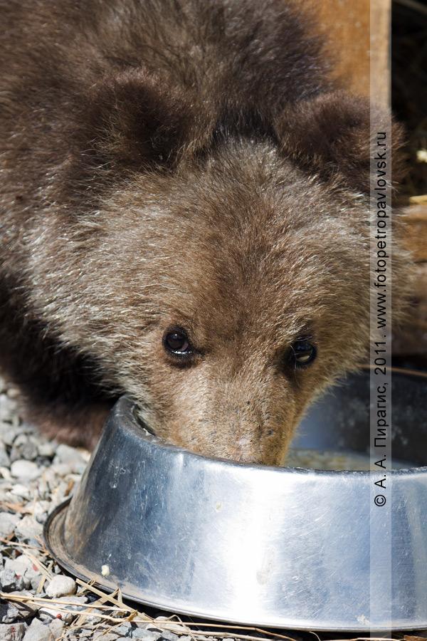 Фотография: медвежонок (камчатский бурый медведь) кушает. Елизовский зоопарк (Камчатский край)