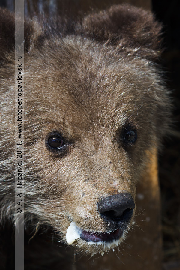 Фотография: камчатский бурый медведь в Елизовском зоопарке на Камчатке