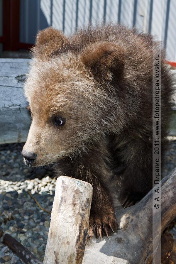 Фотография: камчатский бурый медведь