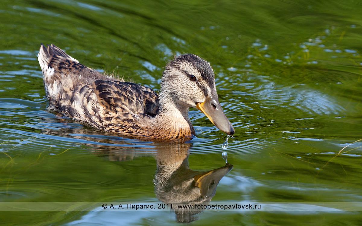 Фотография: утка. Култучное озеро в городе  Петропавловске-Камчатском