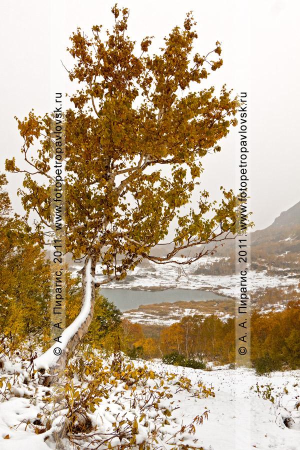 Фотография: береза в осеннем наряде. Горный массив Вачкажец (Южно-Быстринский хребет) на Камчатке