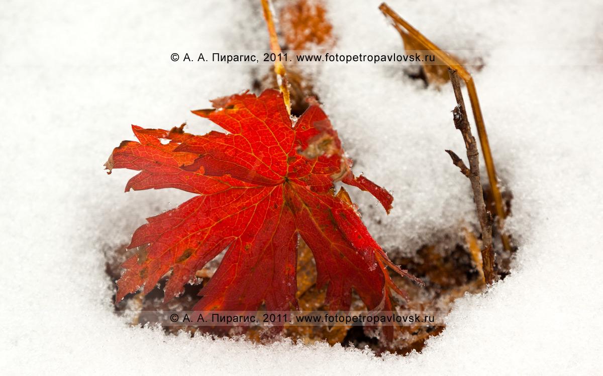 Фотография: одинокий красный лист на сентябрьском снегу. Горный массив Вачкажец, Южно-Быстринский хребет, полуостров Камчатка