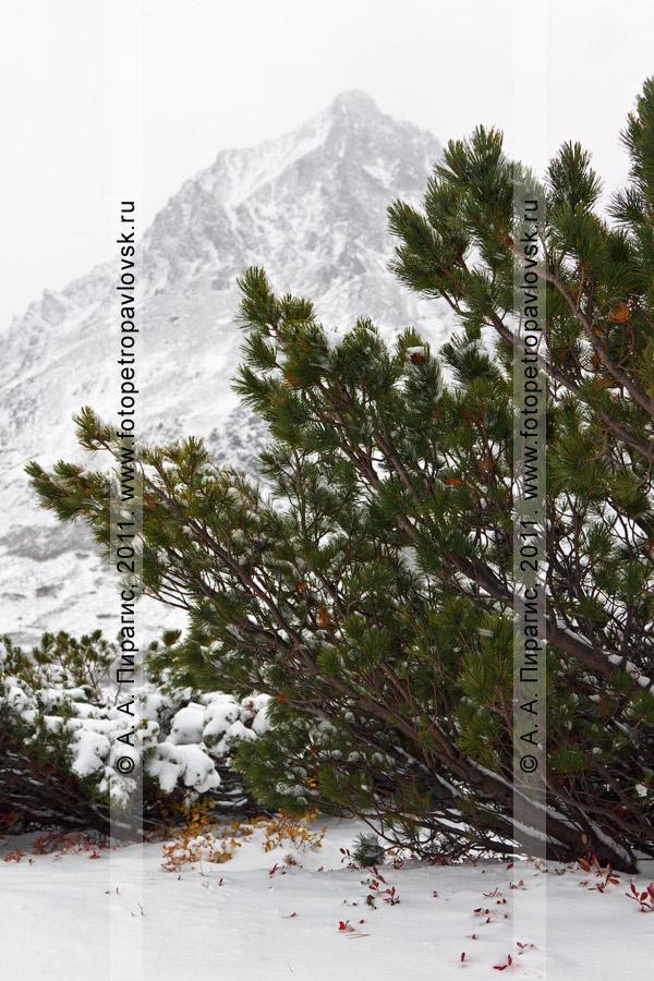 Фотография: кедровый стланик на фоне горы Вачкажцы (Вачкажицы). Южно-Быстринский хребет, полуостров Камчатка