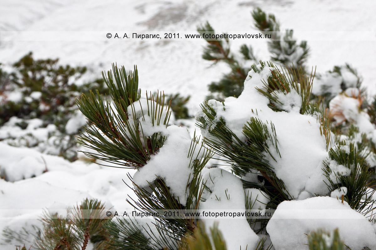 Фотография: ветки кедрача после снегопада. Горный массив Вачкажец, Южно-Быстринский хребет, полуостров Камчатка