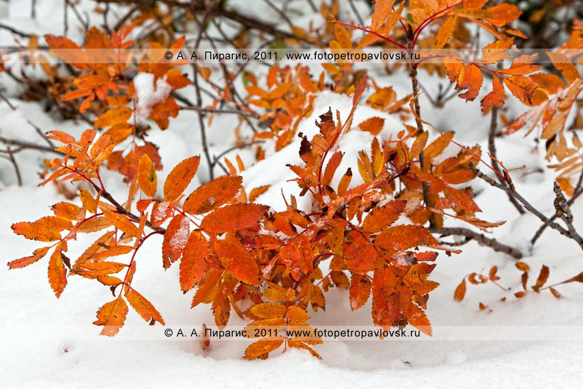 Фотография: ветки рябины и снег. Район горного массива Вачкажец на Камчатке