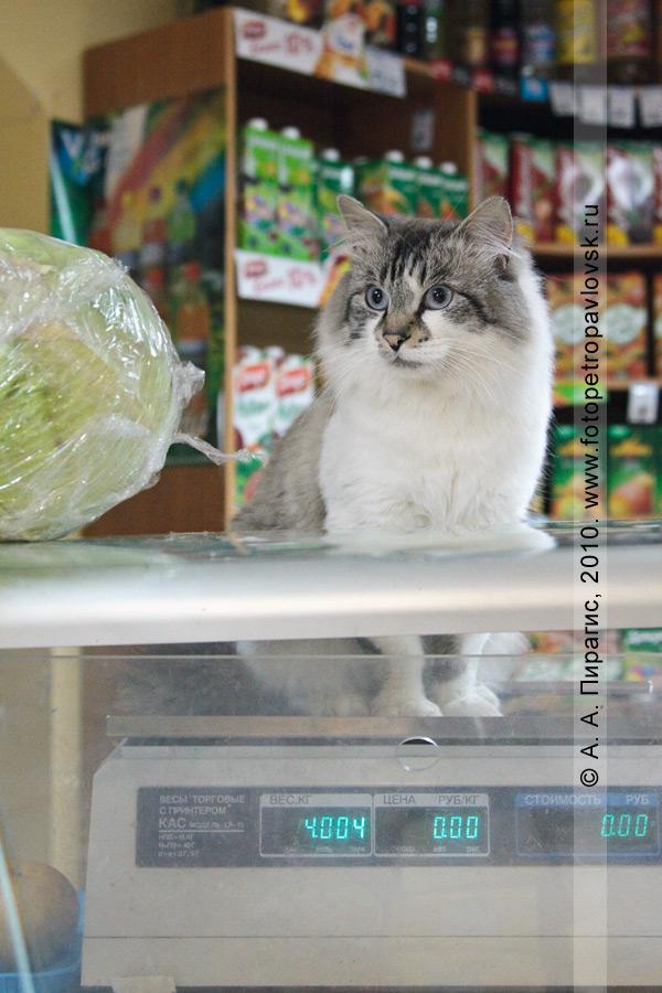 Фотография: кот Вася, спрашивайте в продуктовых магазинах города Петропавловска-Камчатского!