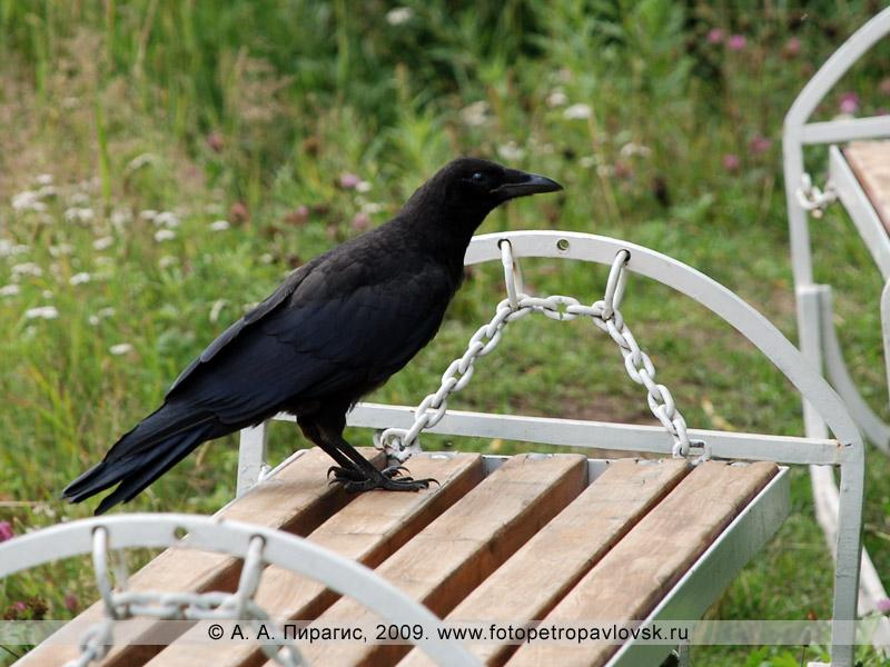 Ворона (вороненок)