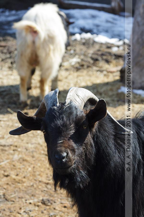 Фотография: камерунская коза. Елизовский зоопарк. Камчатский край, город Елизово