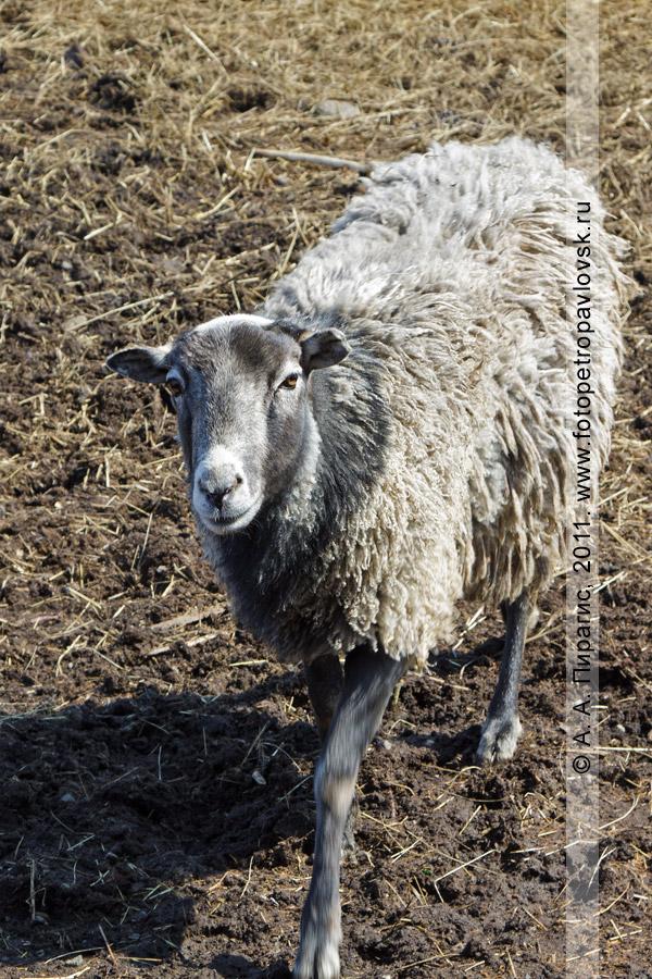 Фотография: романовская овца. Камчатский край, город Елизово, Елизовский зоопарк