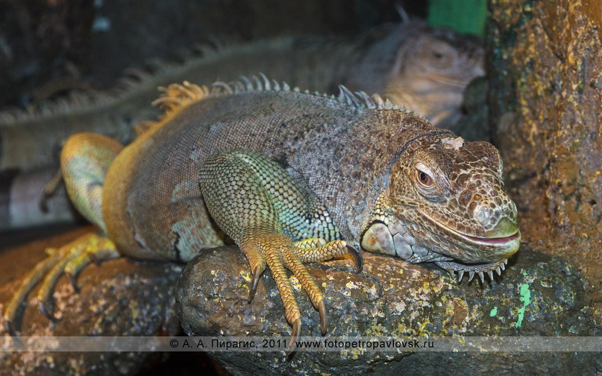 Фотография: зеленая игуана — Iguana iguana. Зоопарк в городе Елизово на Камчатке