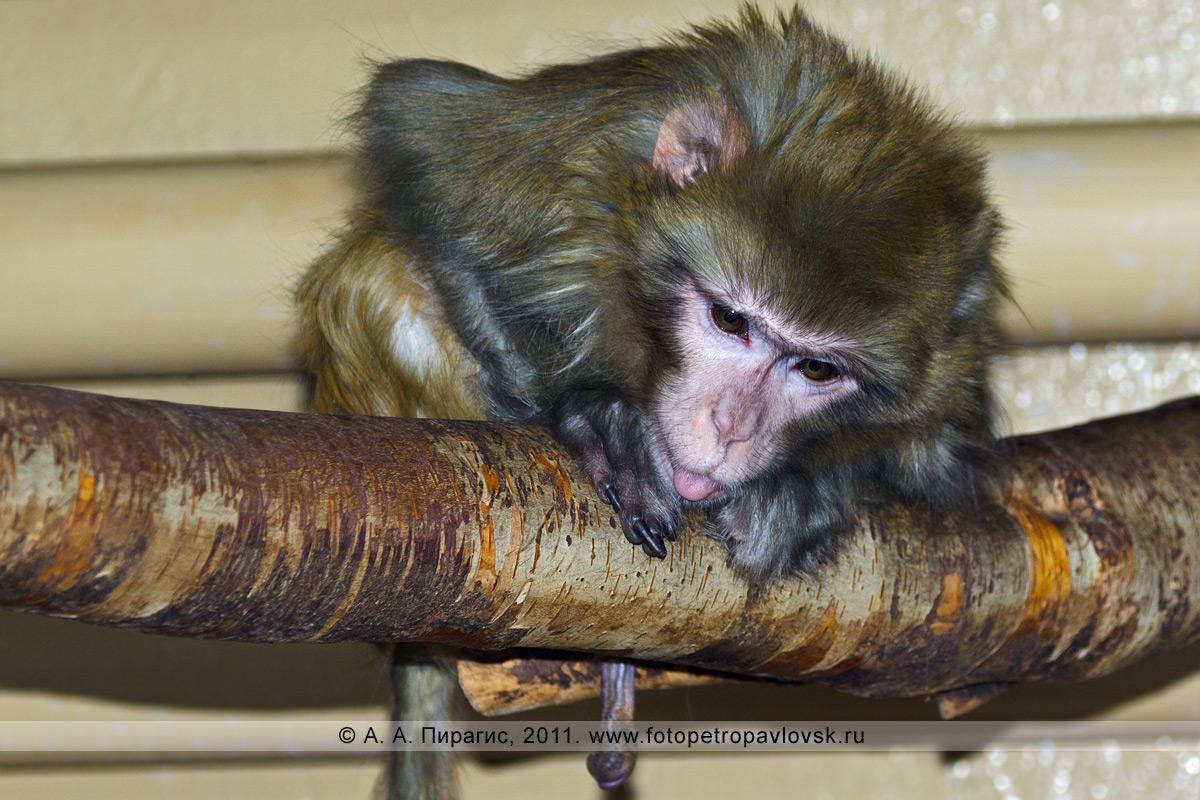 Фотография: макака-резус — Macaca mulatta. Елизовский зоопарк, город Елизово Камчатского края