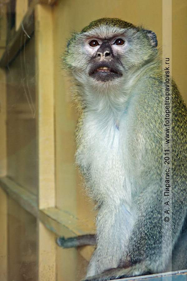 Фотография: зеленая мартышка — Cercopithecus aethiops. Место обитания — Эфиопия. Елизовский зоопарк, город Елизово