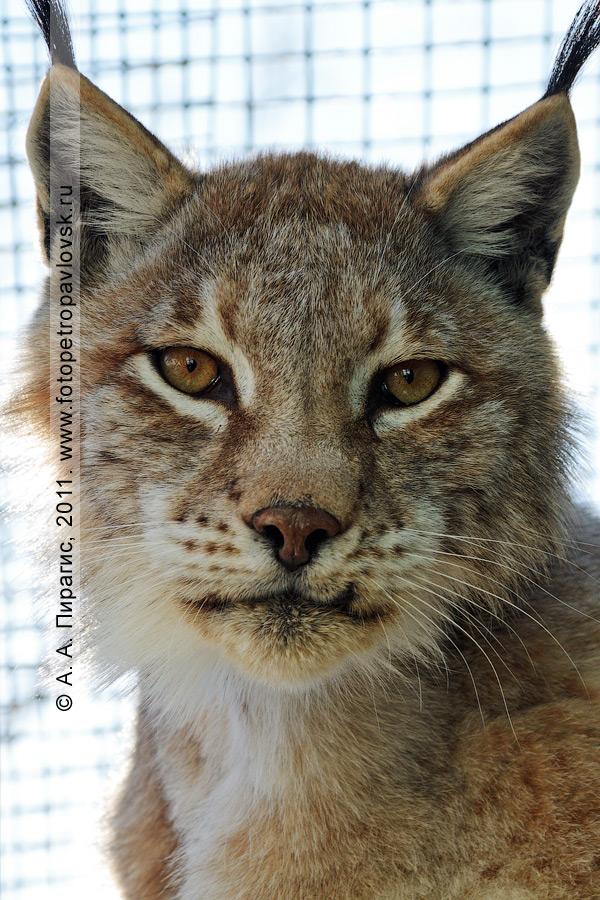 Фотография: рысь восточно-сибирская — Felis linx wrangeli