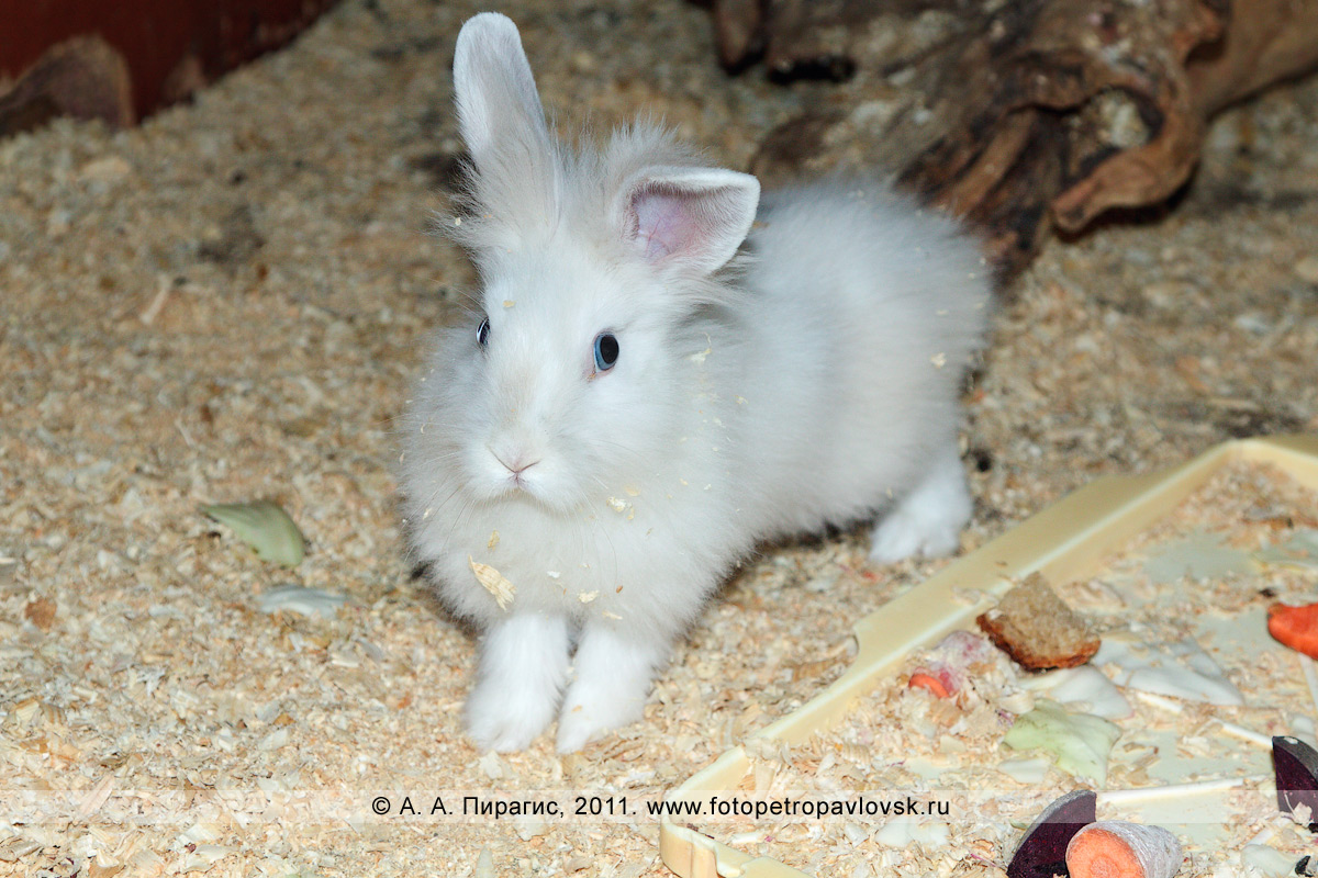 Фотография: белый декоративный кролик
