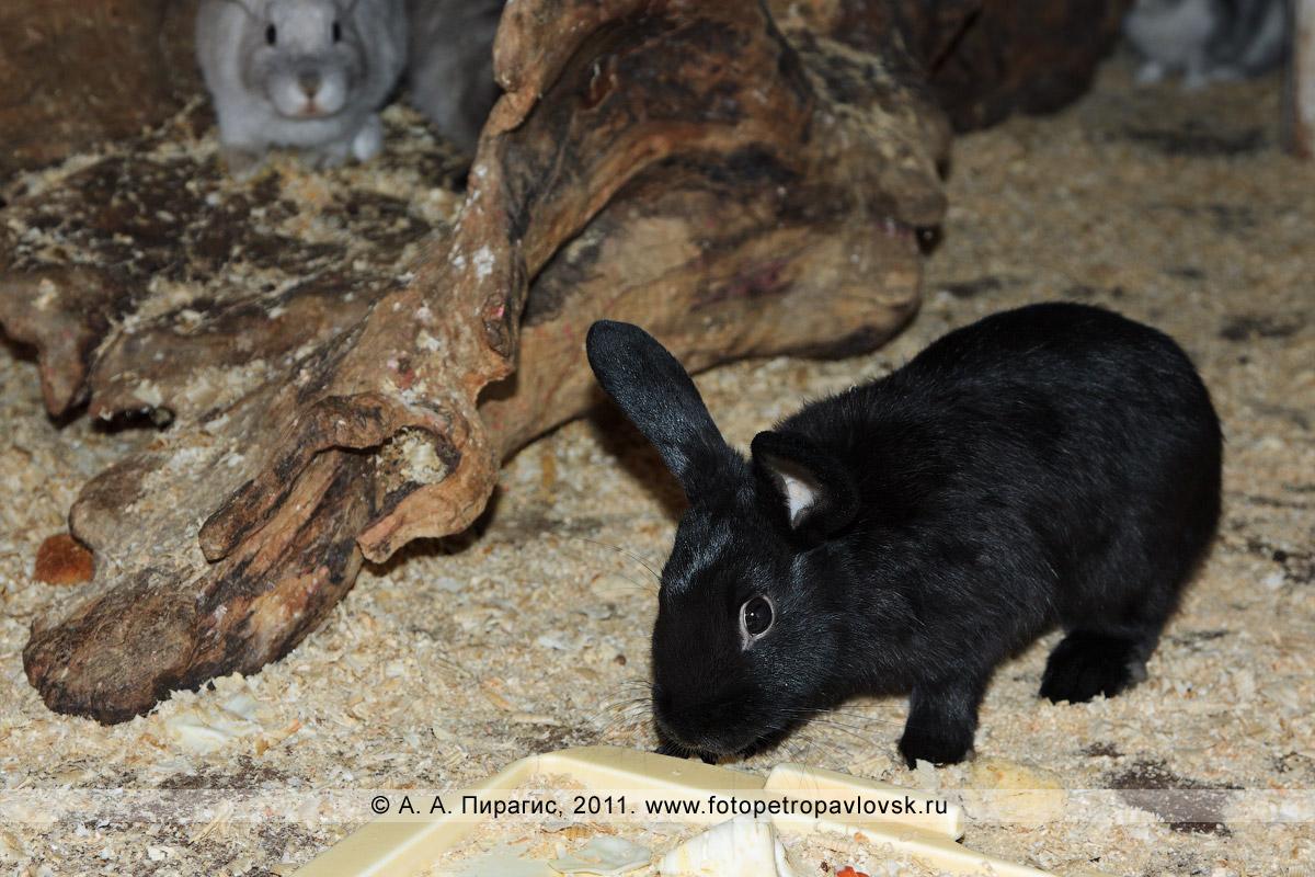 Фотография: черный декоративный кролик