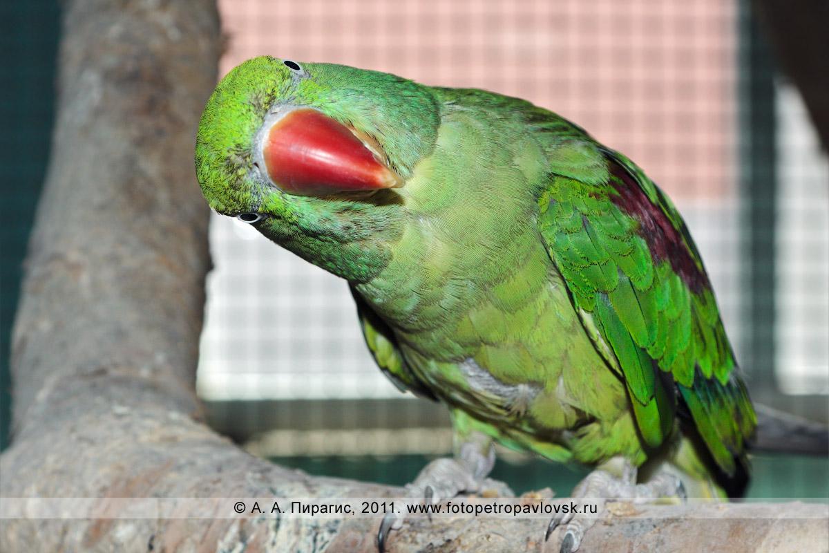 Фотография: большой кольчатый попугай