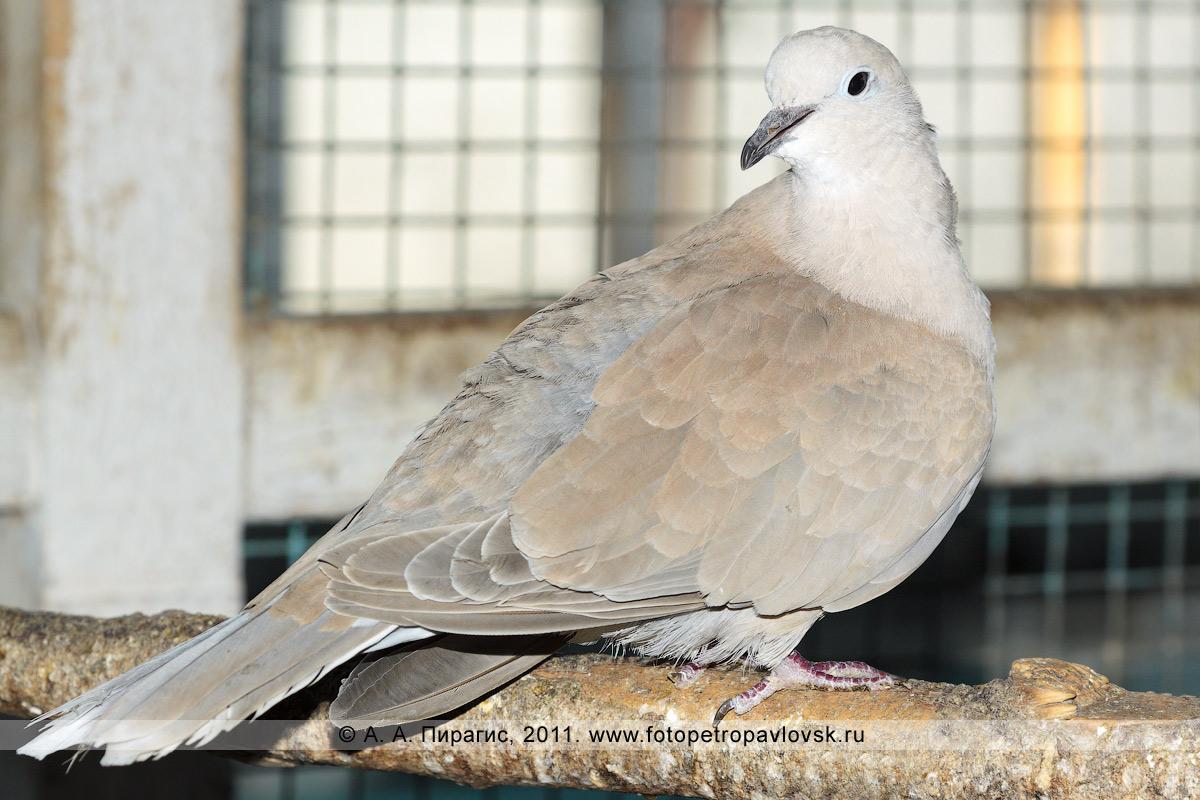Фотография: голубь смеющаяся горлица — Streptopelia roseogrisea
