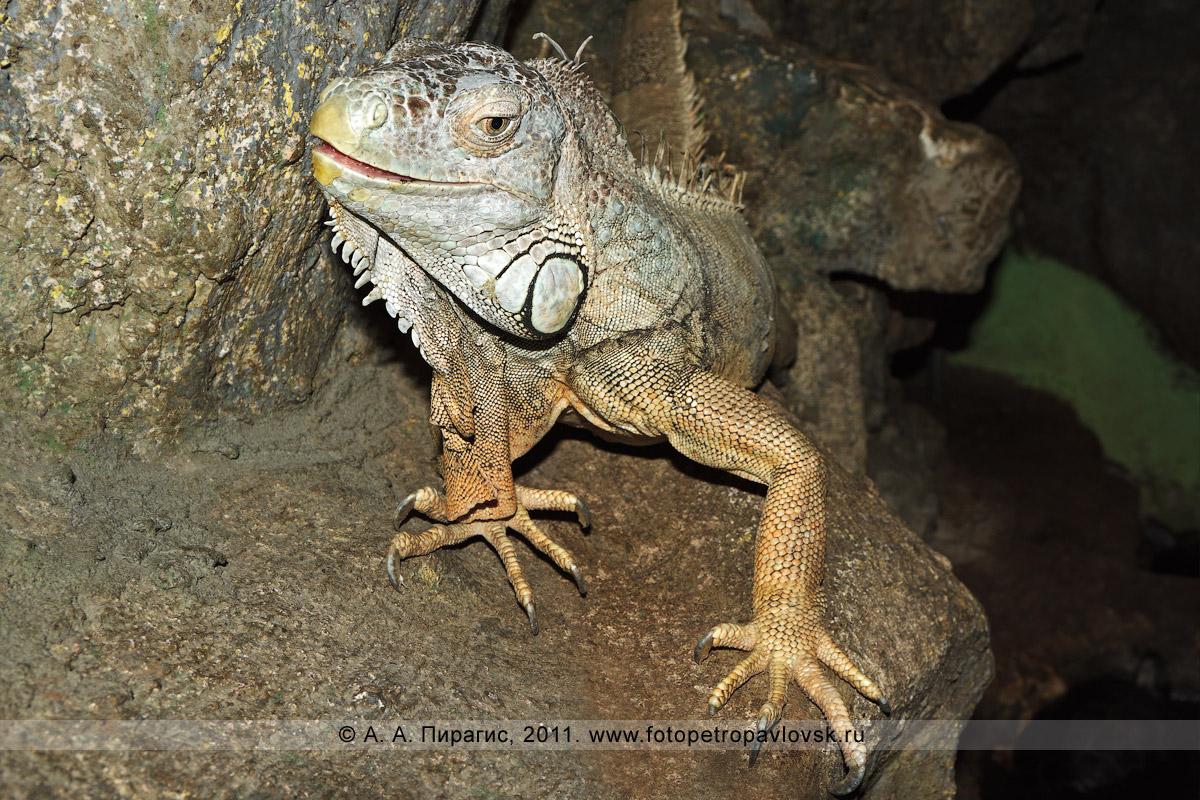 Фотография: зеленая игуана — Iguana iguana