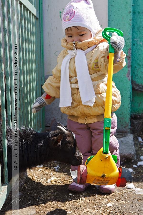 Фотография: камерунская коза и юная посетительница Елизовского зоопарка. Камчатский край, город Елизово