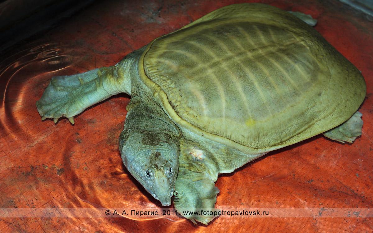 Фотография: дальневосточная мягкотелая черепаха, или китайский трионикс, — Pelodiscus sinensis