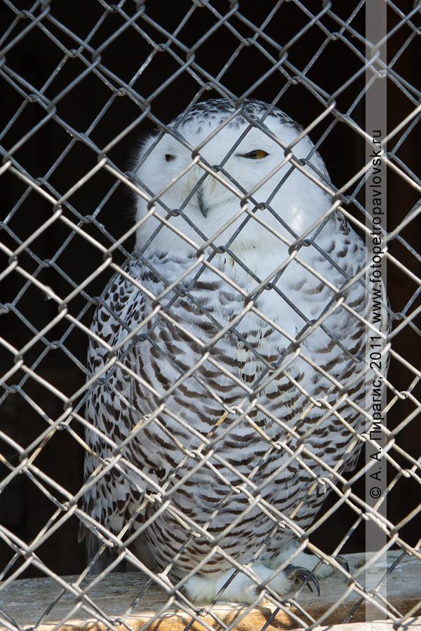 Фотография: белая сова — Nyctea scandiaca. Зоопарк в городе Елизово (Камчатка)