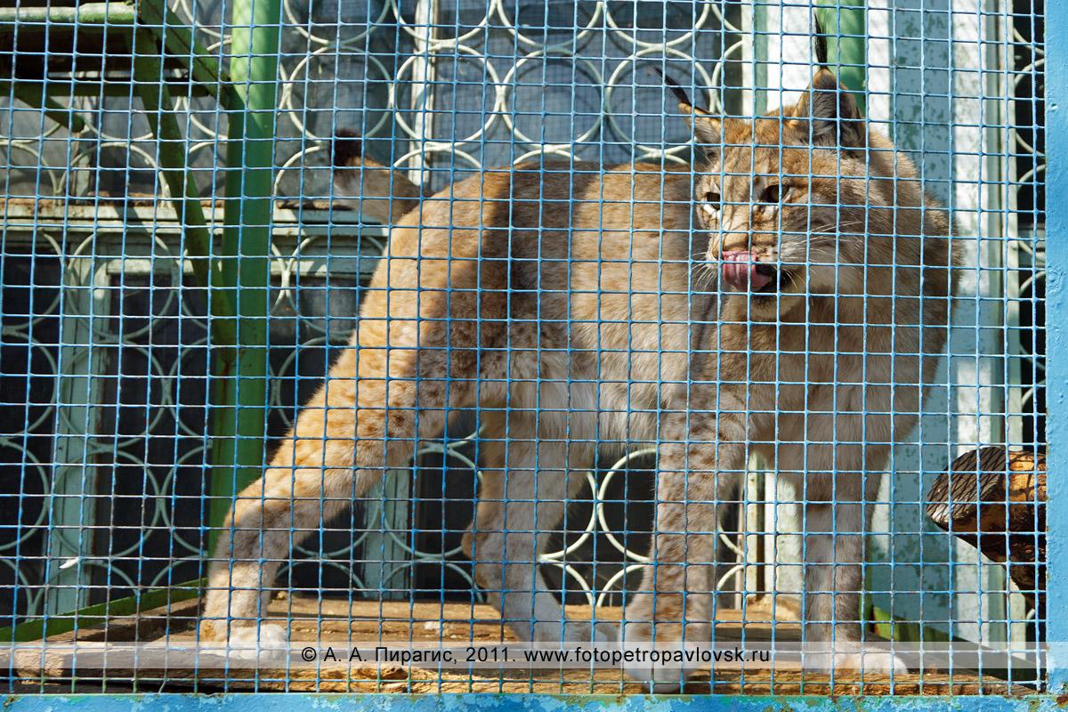 Фотография: рысь восточно-сибирская — Felis linx wrangeli. Елизовский зоопарк. Камчатский край, город Елизово
