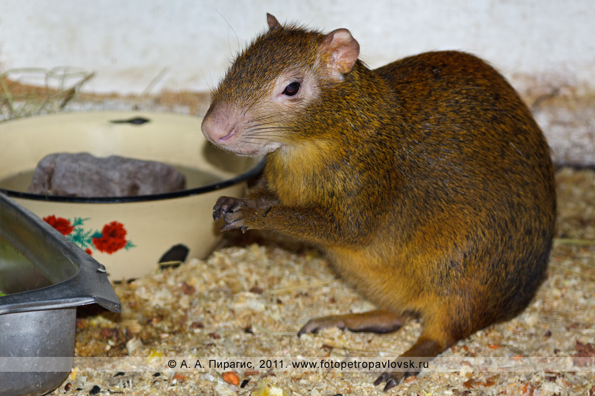 Фотография: агути — Da syprocta azarae. Место обитания: Южная Америка. Елизовский зоопарк, город Елизово