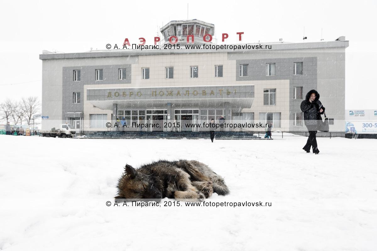 Бездомная собака спит на привокзальной площади возле здания аэровокзала аэропорта Петропавловск-Камчатский (аэропорт Елизово) в Камчатском крае