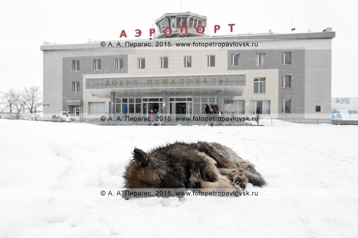 Бродячая собака спит на привокзальной площади аэровокзала аэропорта Петропавловск-Камчатский (аэропорт Елизово) на Камчатке