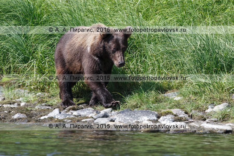 Фотография: молодой камчатский бурый медведь (Ursus arctos piscator) на берегу речки. Камчатский край