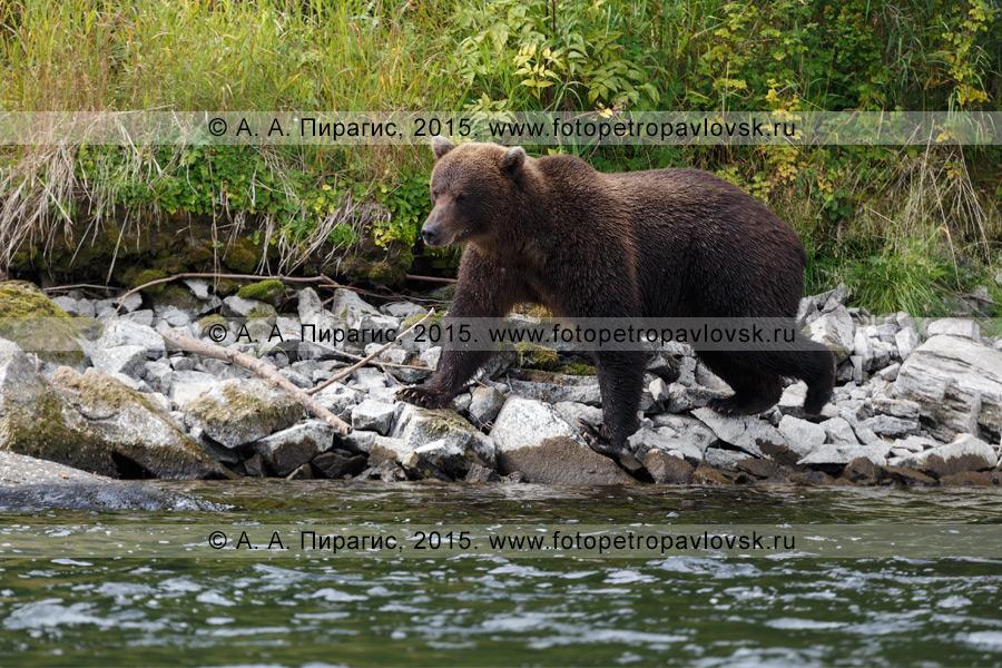 Фотография: фауна Камчатки — камчатский бурый медведь (Ursus arctos piscator)