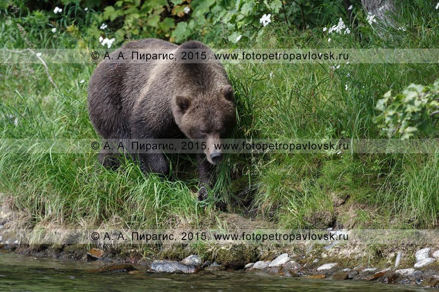 Фотография: камчатский бурый медведь (Ursus arctos piscator) — представитель фауны полуострова Камчатка