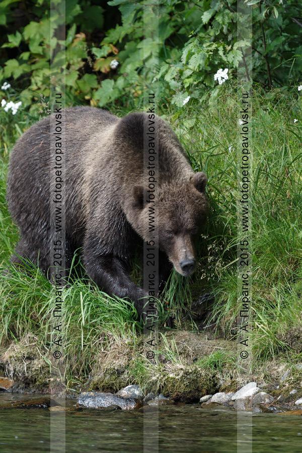 Фотография: камчатский бурый медведь (Ursus arctos piscator) — представитель фауны Камчатки
