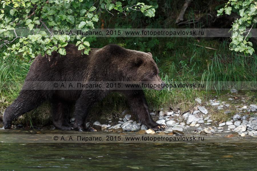 Фотография: камчатский бурый медведь (Ursus arctos piscator) — представитель фауны Камчатского края